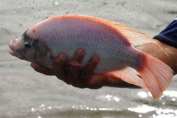 Cá diêu hồng: 1 con, khoảng 800g