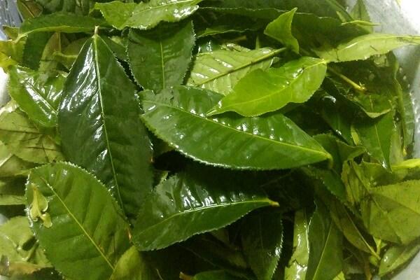 Lá trà xanh: 10g
