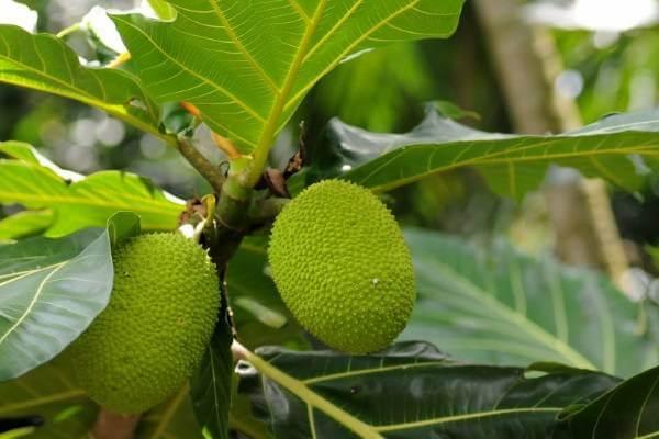 Quả sa kê là loại quả phổ biến trong miền nam