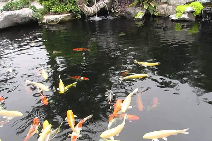 Suối cá Koi sặc sỡ được nhập trực tiếp từ Nhật Bản