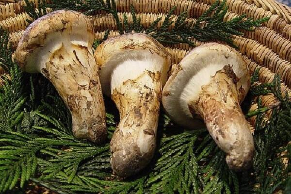 Nấm Matsutake là loại nấm siêu đắt thứ 2 Mâm Cơm Việt muốn giới thiệu.