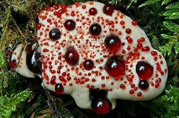Thông thường các loại nấm độc khi ngắt sẽ có nhựa nấm chảy ra.