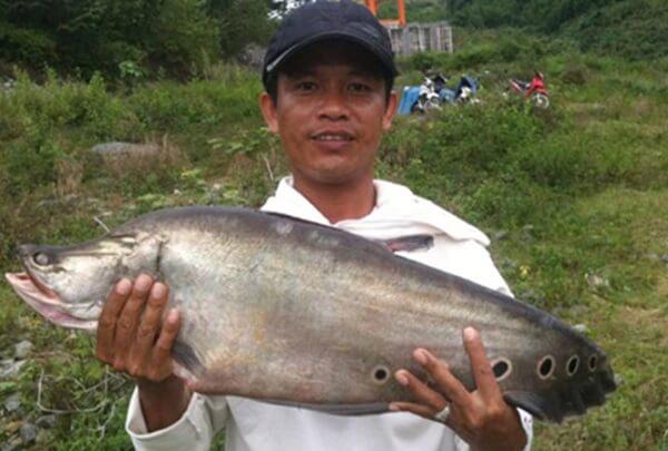 Khó tin khi một con cá thác lát có thể nặng tới 7kg