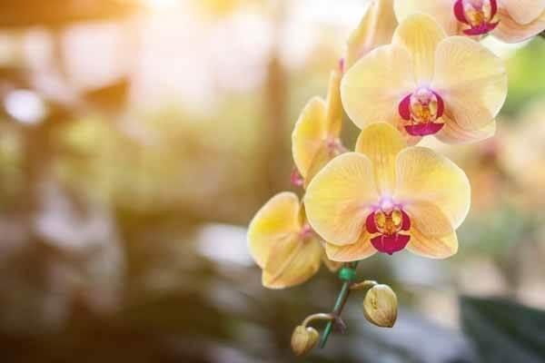 Hoa lan hồ điệp chậu – nét đẹp thanh tao, kiêu sa