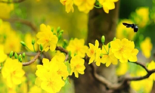 Hoa mai vàng mang phú quý