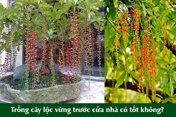 Theo sách phong thủy từ xưa các đình làng hay phủ chúa thường trồng những cây lộc vừng