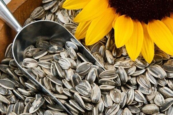 Bà bầu ăn Hạt Hướng dương có tốt không - Sunflower Seeds