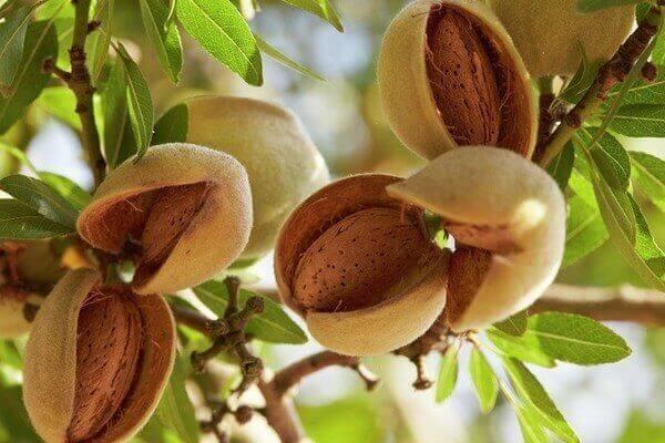 Hạt quả Hạnh nhân - Tên tiếng Anh Almonds