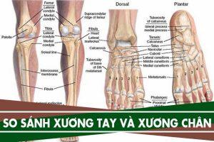 Ý nghĩa, điểm giống và khác nhau giữa xương tay và xương chân