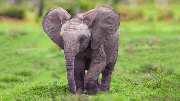Bốn cái chân to lớn như cái cột đình. Còn cái tai thì chẳng khác gì một caí quạt lúc nào cũng phe phẩy.