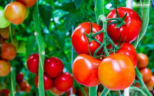 Phương pháp giảm cân bằng cà chua
