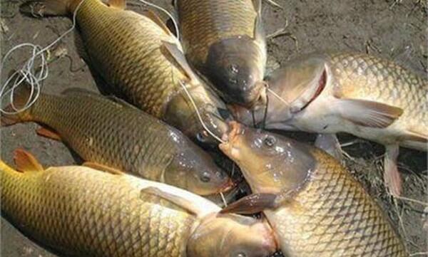 Cá chép tươi – cách nấu cháo cá chép