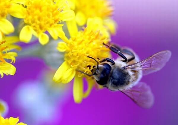 Mật ong rừng khác mật ong nuôi như thế nào