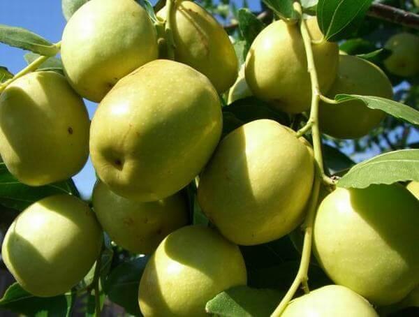 Táo ta – cách làm mứt táo ta