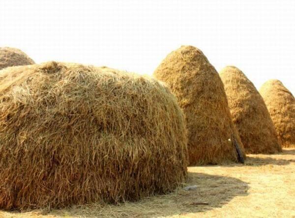 Nguyên liệu trồng nấm rơm chủ yếu là rơm rạ - Ảnh Internet