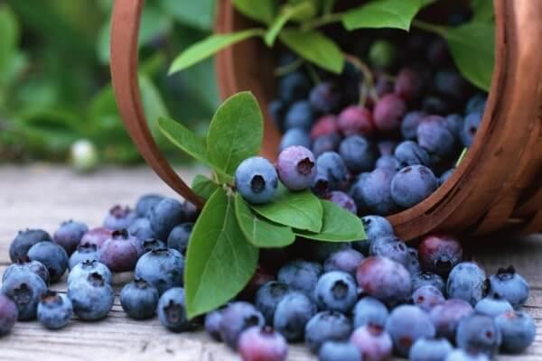 Một chất dinh dưỡng thực vật có nhiều trong quả việt quất có thể có ảnh hưởng đến gen điều tiết sự trao đổi chất béo
