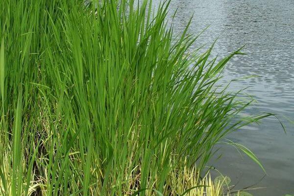 Hoa niễng mọc thành cụm phân nhiều nhánh, dài 30-50 cm