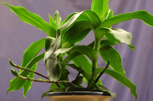 Cây Lược vàng có tên khoa học là Callisia fragrans