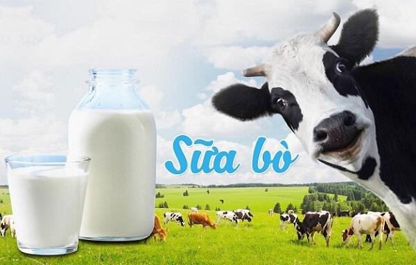 Sữa bò tươi có chứa nồng độ protein và khoáng chất cao
