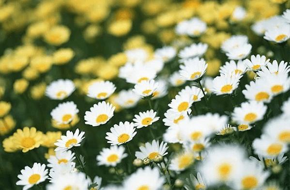 Tác dụng của trà hoa cúc vàng trắng – Uống trà hoa cúc đúng cách