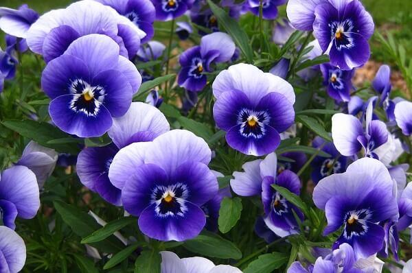 Bài thuốc trị mụn nội tiết từ hoa violet