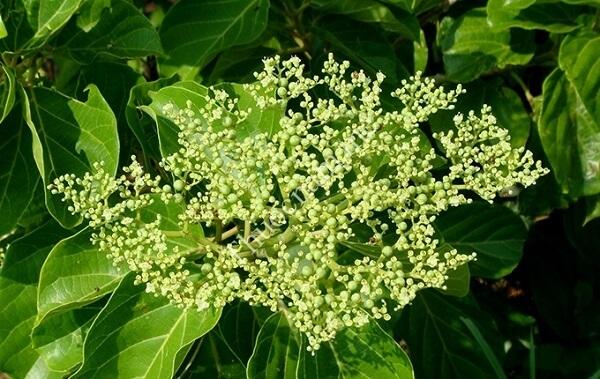 Danh sách những loại cây thuốc Nam chữa bệnh dạ dày dân gian